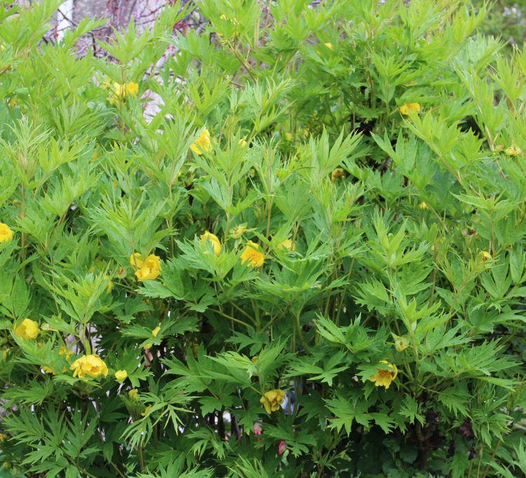 Paeonia Lutea Var Ludlowii West Coast Island Blooms