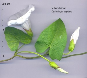 Calystegia sepium west coast island blooms heart shaped leaves summer bloom of white trumpet flowers refer to photo con id mightylinksfo